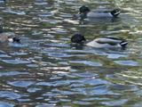 Ducks on the pond.jpg